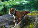 Mighty One, Sumatran Tigar