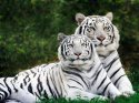 White Phase, Bengal Tigers