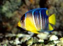 Caribbean Blue Angelfish, Gulf Of Mexico