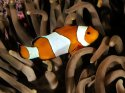 Percula Clownfish, Indo-Pacific