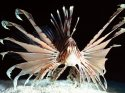 Red Volitans Lionfish, Indo-Pacific